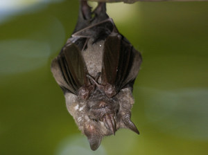 Bats removal columbia sc
