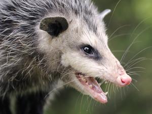 Opossums-2