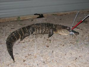 Platt-Springs-Gator